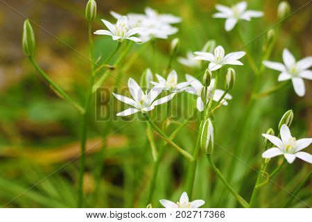 The white Ornithogalum flowers closeup (Star of Bethlehem)