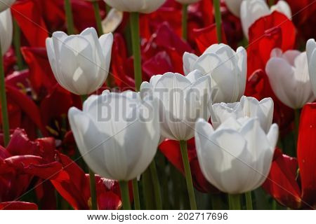 flowerbed with red and white tulips in the park