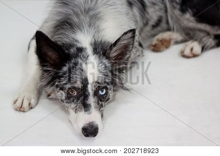 Blue merle border collie is lying on the floor. Pet animals.