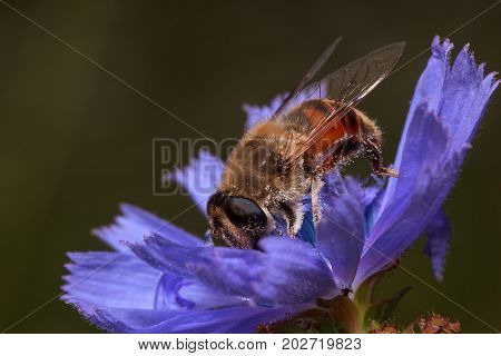 Hoverfly is picking pollen from chicory flower. Wild animals.