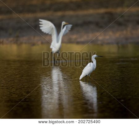 White Herons Standing In Water