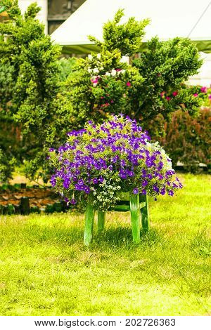 Garden decoration chair with purple and white flowers standing on lawn. Chair used as creative flowerpot. Flowers growing on chair