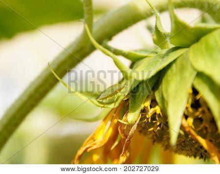Bug Palomena Prasina on a sunflower closeup