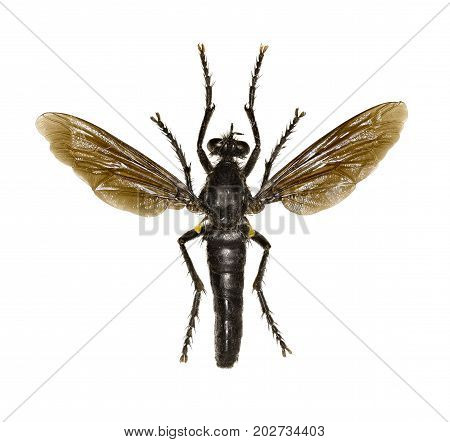 Robber Fly Dasypogon on white Background - Dasypogon diadema (Fabricius 1781)
