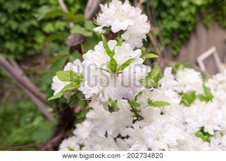 the white Azalea flower blossom in garden