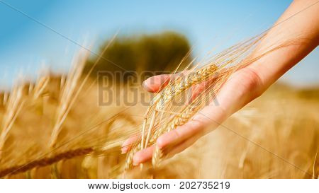 Picture of man touching spikelets of wheat in field during day