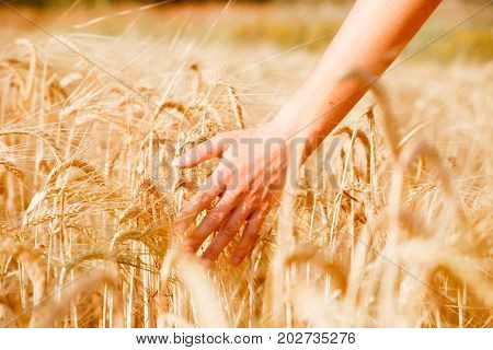 Picture of human's hand with wheat spikes in field at afternoon