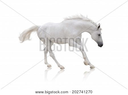white horse runs isolated on white background