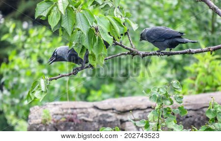 Two Jackdaws Perched On Cherry Tree In British Garden.