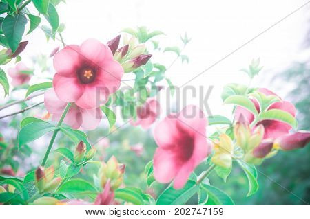 flowers vintage pink flowers in the garden plant and filter vintage lighting style in the romance day background and copy space