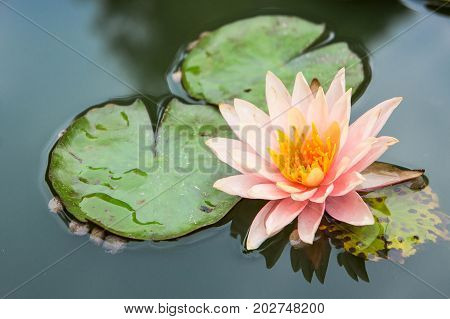beautiful lotus flowers or waterlily in pond