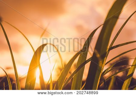 Grass Flower In Sunset And Bokeh Sun Light Abstract Background.