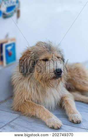 Homeless shaggy dog lying at the entrance to the shop on the street in Oia. Santorini (Thira) island, Greece, Europe.