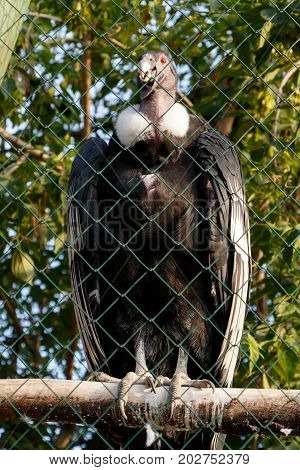 Female of the Andean Condor (Vultur gryphus) in a cage at the zoo