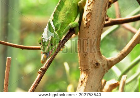 A chameleon starts letting its tongue loose at it hunts for food.