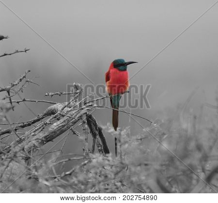 a single carmine bee-eater on a branch