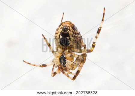 Close-up Of A Cross Spider