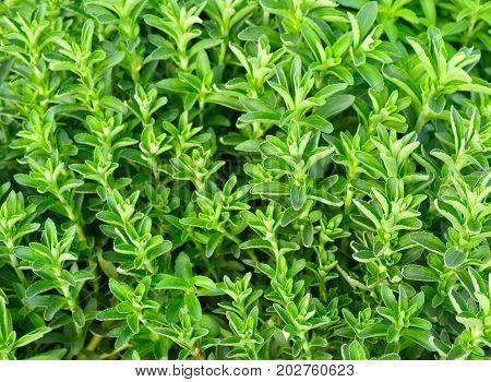 Stevia Green Plant
