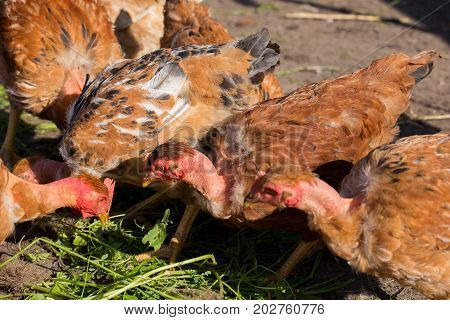 Red Chickens With Bare Necks In The Henhouse Peck Green Grass
