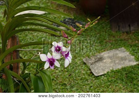 Close up of orchid flower in the garden