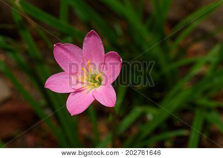 Fresh pink flower in the home garden