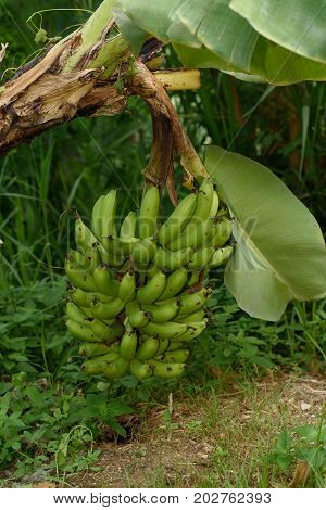Green banana fruits hanging on the tree