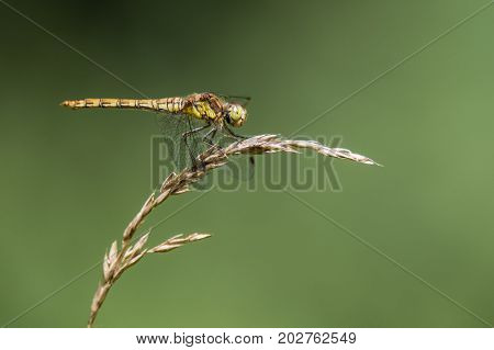 Common darter (Sympetrum striolatum) profile on grass. Female dragonfly in the family Libellulidae showing black legs with yellow stripes
