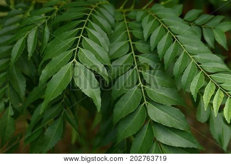 Fresh green curry leaf on the tree