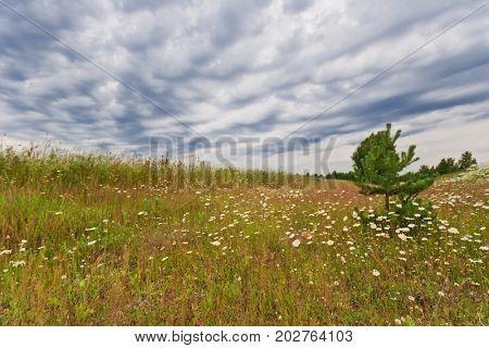 Field with daisies under gloomy sky
