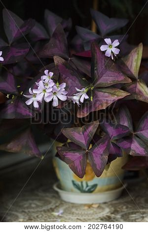 oxalis shamrock purple plant and pink blossom close up