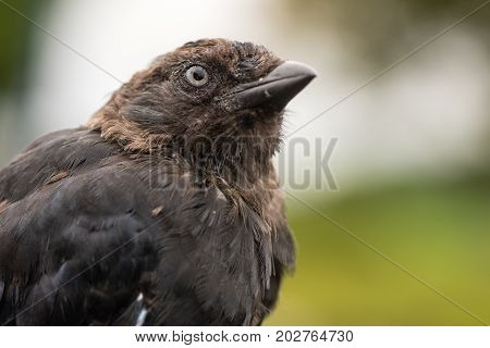 Jackdaw (Corvus monedula) close up of head. Juvenile bird in the crow family (Corvidae) appearing scruffy before plumage fully matures