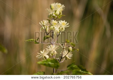 Traveller's-joy (Clematis vitalba) flowers. Climbing shrub in the buttercup family (Ranunculaceae) bearing attractive white flowers