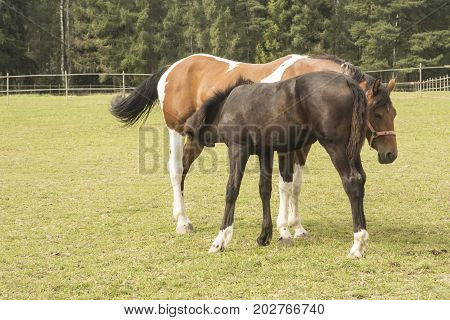 Two horses in corral. Foal and its mother