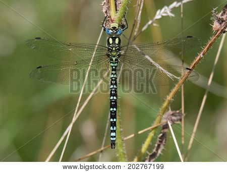 Southern hawker (Aeshna cyanea) male dorsal view. Large insect in the order Odonata family Aeshnidae at rest