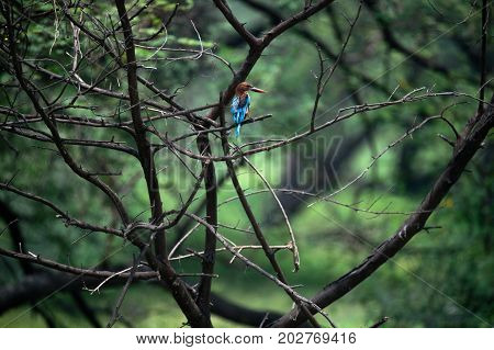 Common Kingfisher bird perched on a tree looking right, India