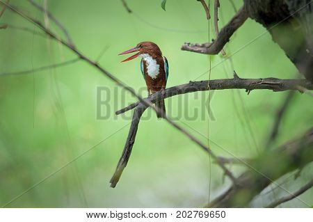 Common Kingfisher bird perched on a tree looking left, India