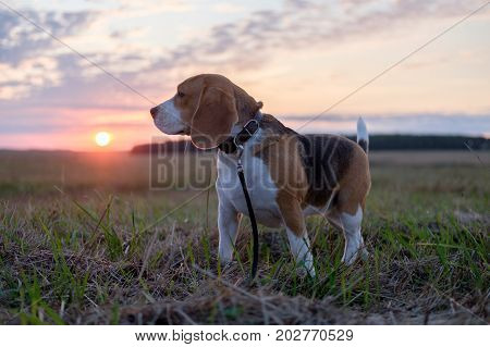 dog Beagle on a walk on an autumn evening at sunset