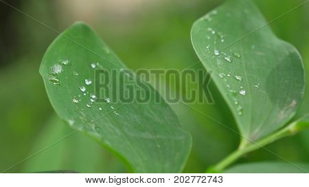 Leaves with drops of water. Can be used as background
