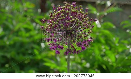 giant leek, Allium giganteum Leek, Flower nature