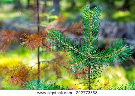 young green sapling or sprout of a young pine closeup on an indistinct background