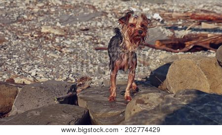 wet dog Yorkshire terrier stands on stones near the sea. Summer vacation travel funny video