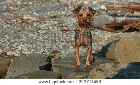 wet dog Yorkshire terrier stands on stones near sea. Summer vacation travel funny video