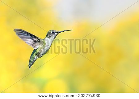 A tiny hummingbird hovers with yellow sunflowers in the soft-focused background.