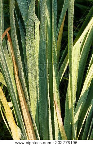Green Grass Stalks With Morning Dew.