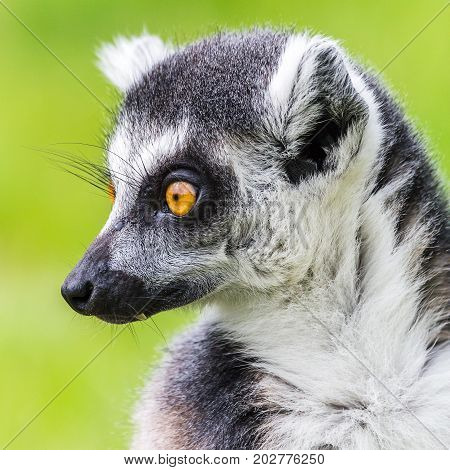 Ring-tailed Lemur Pictured Against The Grass