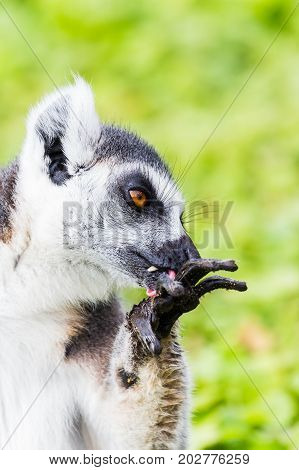 Ring-tailed Lemur Cleaning Itself