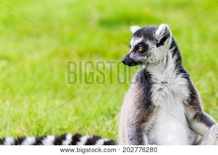 Ring-tailed Lemur Glances Back Over Its Striped Tail