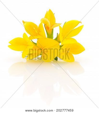 yellow flower isolated on a white background