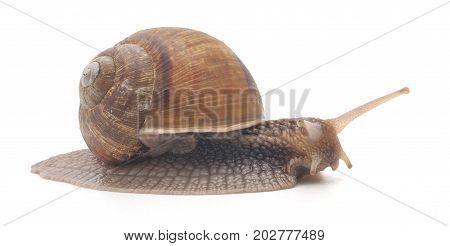 Brown garden snail on a white background.