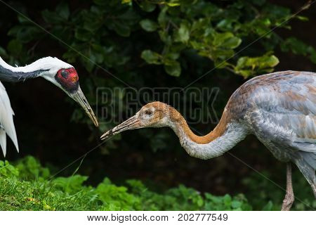 Red Crowned Crane Feeding Its Chick